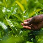 Noutăți despre ceaiul verde