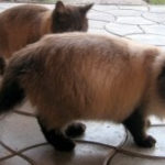 Pisiceste vorbind